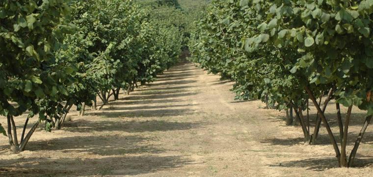 Nocciole, ottima annata in Provincia di Cuneo, secondo Coldiretti