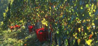 Vendemmia, ottimismo di Coldiretti Cuneo all'inizio della raccolta delle uve