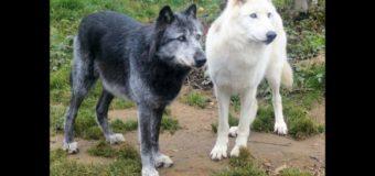 Asti, incontro tra Regione e enti territoriali sulla presenza del lupo