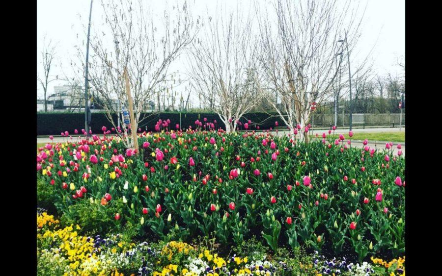Alba, fioriscono i Tulipani di Pralormo, da ammirare direttamente da casa
