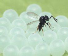 Via libera alla diffusione della vespa samurai per contrastare la cimice asiatica
