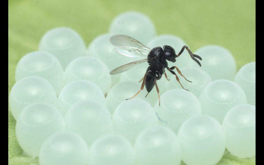 Primi rilasci di vespe samurai nell'area Albese contro la Cimice asiatica