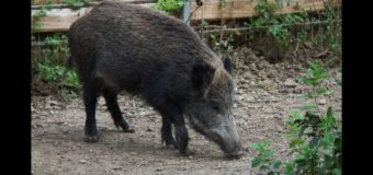 Ripresa l'attività di contenimento degli animali selvatici in Provincia di Asti