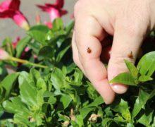 Alba, coccinelle sulle piante per contrastare i parassiti