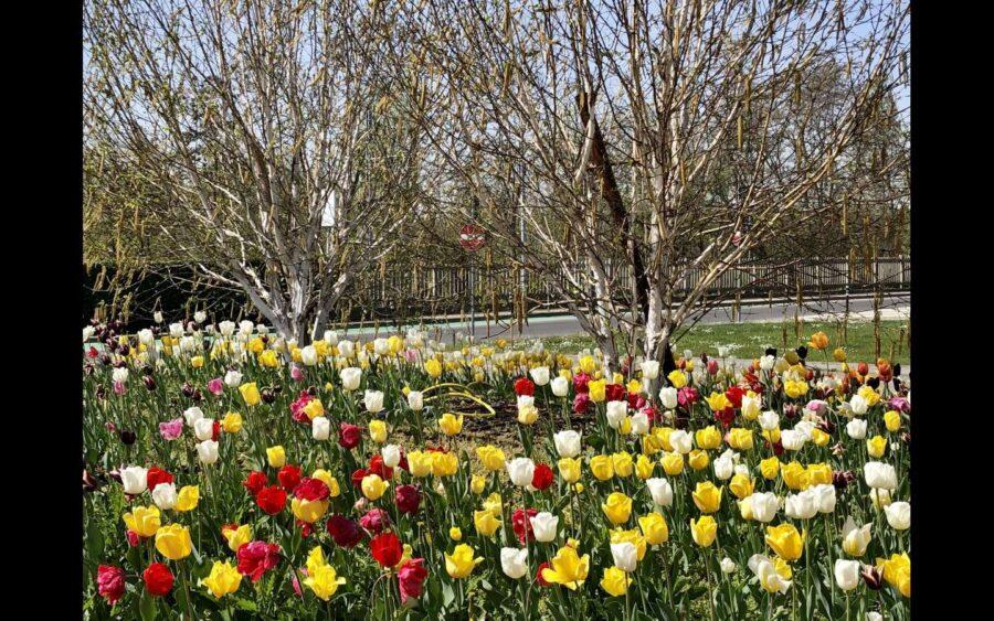 Alba, i Tulipani di Pralormo protagonisti nelle aree verdi