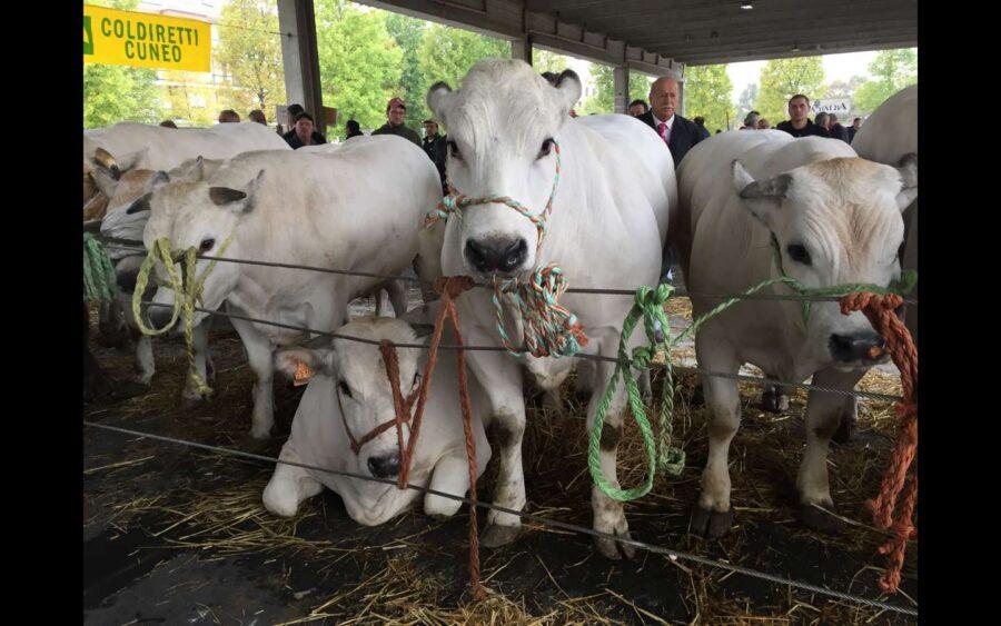 Alba, grande rassegna di bovini piemontesi di sottorazza albese